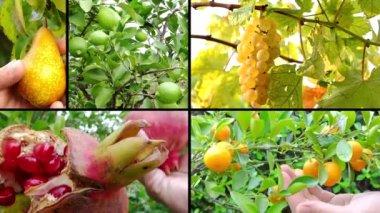 Colheita de frutas — Vídeo Stock