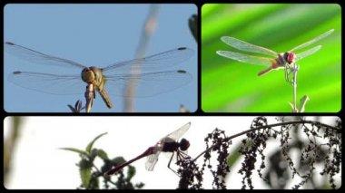 Dragonflies little angels — Stock Video