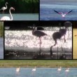 Flamingos, collage — Stockvideo