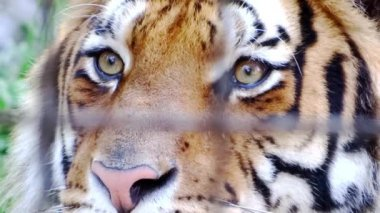 Tiger i fångenskap — Stockvideo