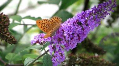 Mariposa naranja y flor de color púrpura — Vídeo de Stock