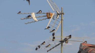 Swallows on a tv antenna — Stock Video