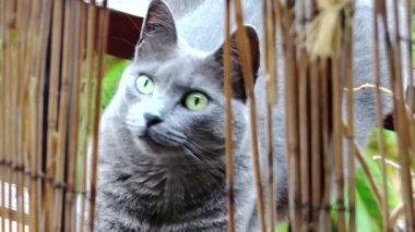 Grå katt porträtt — Stockvideo