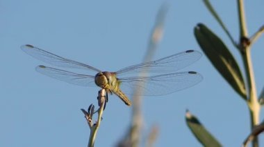 A dragonfly alighting on a twig — Stock Video