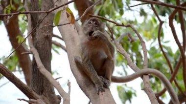 Scimmia thailandese — Video Stock
