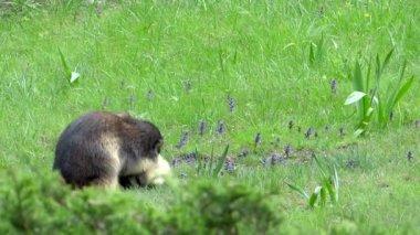 Bestrijding van groundhogs. alpenmarmot. — Stockvideo