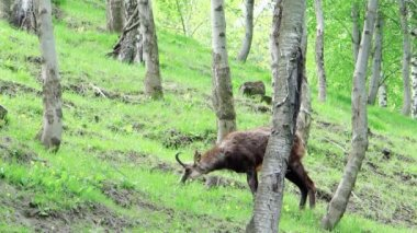Chamois into the wild — Stock Video