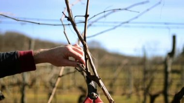 Pruning vines — Stock Video