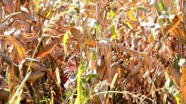 Corn harvest — Stock Video