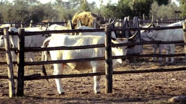 Cows from maremma — Stock Video