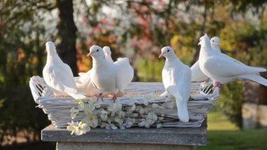 White doves — Stock Video
