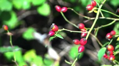 Rowan berries — Stock Video