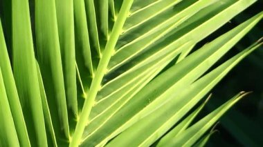 Palm leaf close up — Stock Video