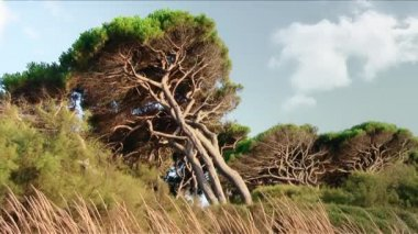 Tuscany, maritime pines — Stock Video