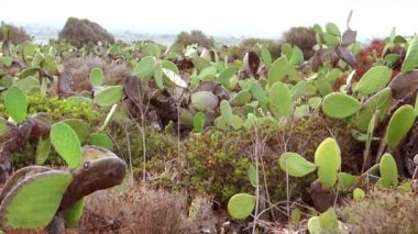 Sicily, prickly pears — Stock Video