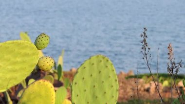 Mediterranean, prickly pear — Stock Video