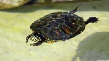 Nice turtle — Stock Video