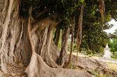 толстые дерево в парке палермо, сицилия — Стоковое фото