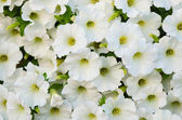 White petunias in the  garden — Stock Photo