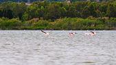 Flamingos in the beach of Chia, Sardinia — Zdjęcie stockowe