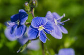 Macro picture of Forget-me-not (Myosotis) — Stockfoto