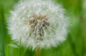 Dandelion clock (Taraxacum officinale) — Stock Photo