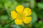 Macro picture of Buttercup (Ranunculus) — Stockfoto