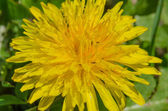 Dandelion (Taraxacum officinale) — Stock Photo