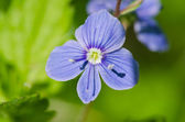 Macro picture of Forget-me-not (Myosotis) — Stock Photo