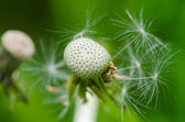 Dandelion clock (Taraxacum officinale) — Stockfoto