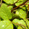 Water drops on the leafs — Stock Photo