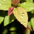 Water drops on the leafs — Stock Photo #30361173