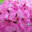 Pink flower background — Stock Photo #30362589
