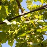 New harvest of vine — Stock Photo #30364373