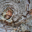 Crust tree texture — Stock Photo