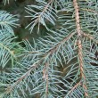 Pinetree branch — Foto Stock
