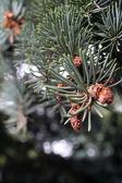松の枝のクローズ アップ — ストック写真