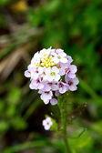 Flores en montañas — Foto de Stock