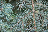 Pinetree branch — Stock Photo