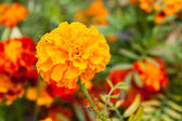 Close-up of tagetes flower — Stock Photo