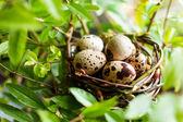 Quail nest with eggs — Stock Photo