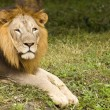 Stock Photo: Asiatic lion close up