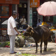 Man feeding a street cow — Stock Photo