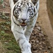 Stock Photo: White tiger looks for its pray