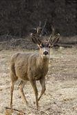 Deer in Yosemite National Park — Stock Photo