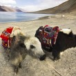 Yaks in front of Pangong Lake — Stock Photo