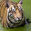 Angry look of Tiger — Stock Photo #30935721