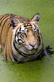 Angry look of Tiger — Stock Photo