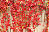 Red plants on wooden fence — Stock Photo