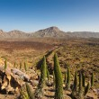 Tajinaste at El Teide National Park. — Stock Photo